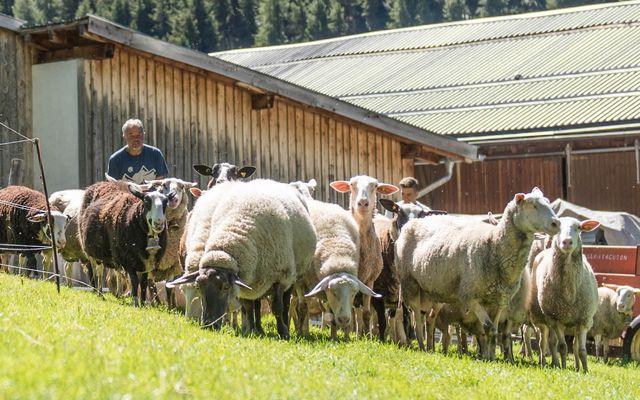 Biohotel Panorama: Schafsherde