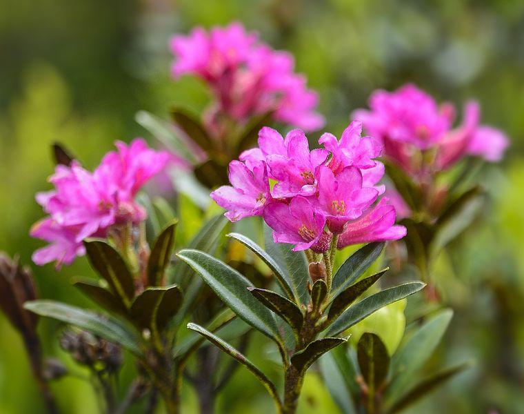 Holiday offer: Alpine rose weeks